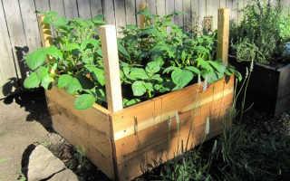 Выращивание картофеля в ящиках без дна: как посадить в короба с подачей воздуха, технология и уход