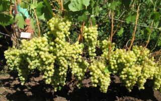 Сорта винограда для Подмосковья: лучшие сорта подмосковных ягод, технические, морозостойкие, сверхранние, какой лучше посадить виноградарям