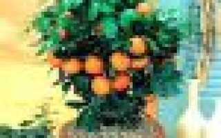 Грунт для мандарина: какую почву подготовить для посадки мандаринового дерева в домашних условиях, какая земля нужна для комнатного цитруса
