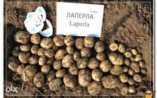 Сорт картофеля Лаперла: описание, фото, отзывы, характеристика картошки Ла Перла
