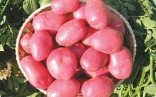 Картофель Лабелла: характеристика сорта, преимущества и недостатки картошки, вкусовые качества и урожайность