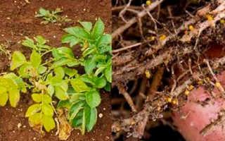 Картофельная нематода: золотистая стеблевая, что это такое, фото, описание и методы борьбы, особенности лечения и как бороться, опасность для человека, болезнь