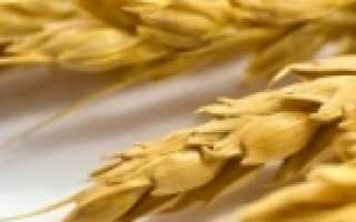 Отличия пшеницы от ржи: как выглядят колоски, фото, чем отличаются злаки и что между ними общего