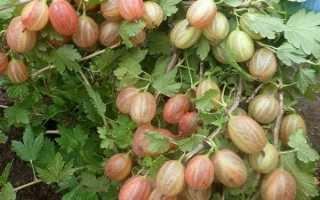 Сорта крыжовника, устойчивые к мучнистой росе для Подмосковья, крупноплодные, сладкие, без шипов, посадка и уход