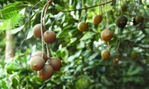 Макадамия: вырастить из ореха, как правильно прорастить и посадить макадамский орех, как за ним ухаживать в домашних условиях, когда созревает урожай в России