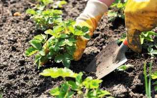 Посадка клубники весной – сроки, соседи, способы