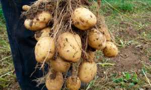 Почему картошка вянет в земле: становится мягкой при сборе урожая и выкапывании, как предотвратить проблему и можно ли есть вялые клубни