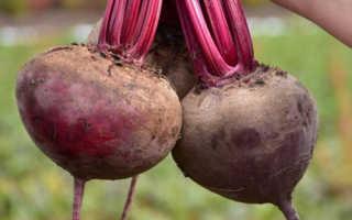 Свекла Кестрел (f1): описание сорта, его преимущества и недостатки, инструкция по выращиванию от А до Я
