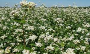 Гречиха: фото, описание как цветет, ее польза и применение, как растет на полях, в каком месяце цветение, когда и каким цветом, цветущая гречка