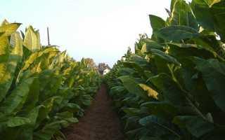Табак Вирджиния (virginia): описание сигаретного сорта, выращивание из семян в домашних условиях и на участке, отзывы о вирджинском сорте