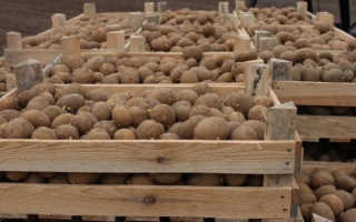 Мыши в погребе грызут картошку: как избавиться, как уберечь в подполе от грызунов и крыс, можно ли есть погрызанные клубни, как сохранить и защитить в подвале