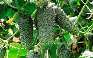 Теневыносливые огурцы для открытого грунта: лучшие тенелюбивые сорта и советы по их выбору, самоопыляемые и пчелоопыляемые разновидности