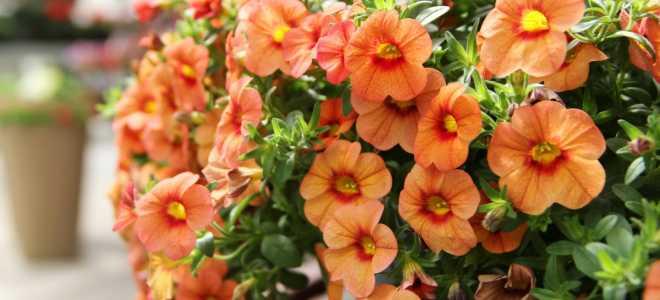 Можно ли выращивать петунию как комнатное растение в горшке: необходимые условия, посадка семенами и черенками, дальнейший уход