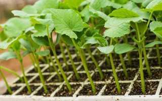 Когда садить огурцы на рассаду: в домашних условиях для открытого грунта или теплицы, как правильно и насколько часто поливать на подоконнике, подсыпать землю