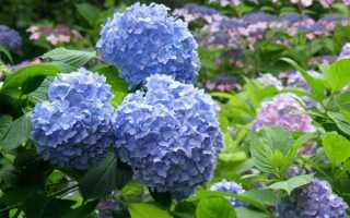 Как кормить гортензии весной и летом, чтобы обеспечить их ростом и пышным цветущим цветом: удобрения, термины, схемы