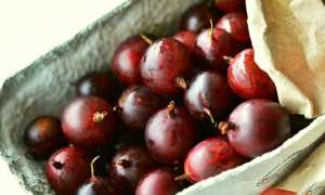 Крыжовник Фридония: описание сорта и характеристика вкусовых качеств, отзывы огородников о выращивании