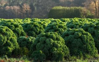 Листовая капуста: выращивание и описание сортов Редбор, Тинторетто, Рефлекс с отзывами и фото