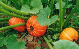 Тыква: выращивание и уход в открытом грунте в Сибири, лучшие сорта (кустовые, сладкие и т.д.), инструкция по уходу