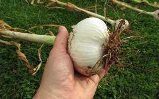 Сорта чеснока: лучшие виды, фото с описанием, самые популярные (Алексеевский гигант, Рокамболь и другие разновидности)