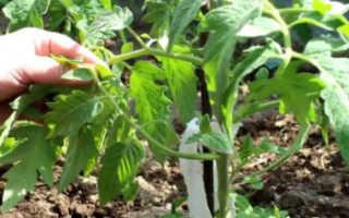 Как правильно пропалывать помидоры в теплице
