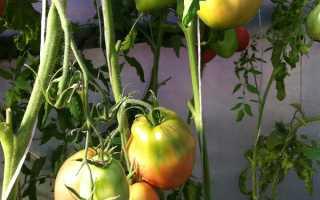 Минусинские помидоры: самые урожайные томаты, их характеристика и описание сорта, фото и отзывы