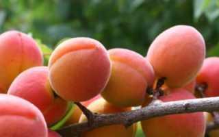 Разнообразие абрикосового красного цвета – Описание, посадка и уход, фотографии и видео