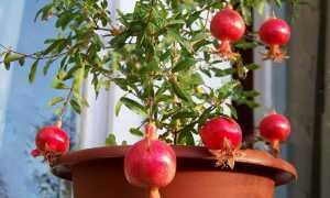 Размножение граната черенками в домашних условиях, как размножается гранатовое дерево, как укоренить (черенковать) комнатный гранат, как размножать куст