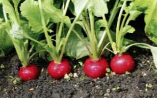 Узнаем, почему редис уходит в цвет и ботву: что делать, если не завязываются плоды (не образуется и не растет корнеплод), урожай горчит и чернеет внутри