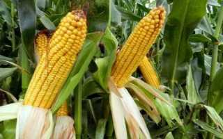 Уборка кукурузы на зерно: сроки и технология сбора, дальнейшая переработка и хранение кукурузных зерен