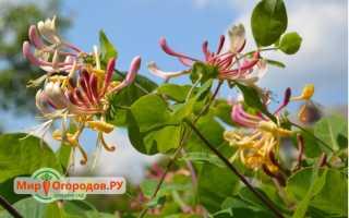 Каприфоль жимолость (ароматная лиана): выращивание из семян, размножение черенками, отводками, делением куста, описание, уход