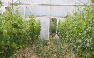 Виноград в теплице – как правильно выращивать и ухаживать, схема посадки, требования к условиям, полезные советы