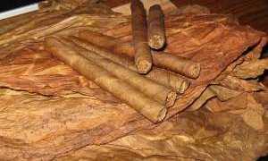 Как собирать табак и сушить: сроки сбора, способы сушки в домашних условиях ( в специальной сушилке, на подоконнике и т.д.), температура выжелчивания листьев