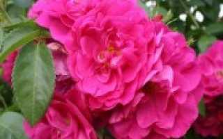 Канадская роза, посадка и уход в открытом грунте