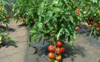 Томат Анюта: характеристика и описание сорта, фото помидоров и отзывы дачников о полученном урожае