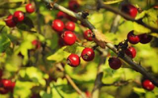 Кизильник – посадка, уход, выращивание, полезные свойства