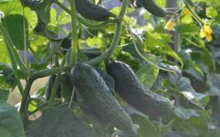 Огурцы Паратунка: описание сорта, отзывы о нем, рекомендации по посадке и уходу, фото урожая
