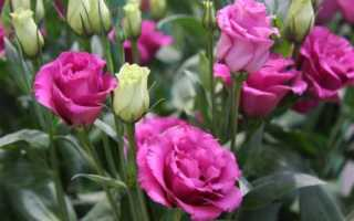 Цветы похожие на розы – названия и фото (каталог)