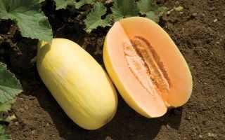 Сладкая дыня: какая самая вкусная, характеристика и описание сорта