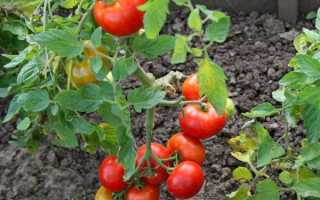 Томат огородник: характеристика и описание сорта, нюансы выращивания и секреты опытных дачников