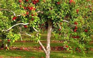 Тля на плодовых деревьях: борьба, опрыскивание и защита от вредителей