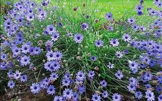 Катанче: выращивание из семян и уход в земле