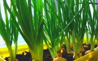 Как выращивать зеленый лук на подоконнике в домашних условиях: как посадить на зелень и прорастить, инструкция по выращиванию дома