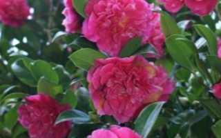 Camellia Japonica (28 фотографий): Уход за мирыми растениями japonica с махровыми цветами дома, посадка семян и культур
