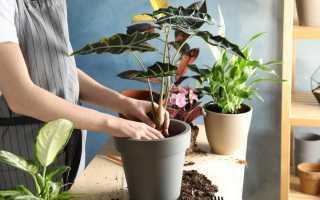 Можно ли осенью пересадить комнатные растения? Особенности осенней пересадки