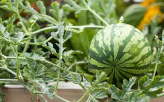 Выращиваем арбуз дома из косточки: инструкция по выращиванию арбузов из семечки в горшках в домашних условиях от посадки до сбора урожая