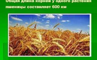 Корневая система пшеницы: какой у неё тип и как она развивается, особенности корней озимой пшеницы (содержание серы, вторичное образование)