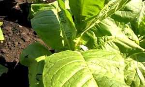 Табак Дюбек: описание сорта, его плюсы и минусы, особенности ухода и выращивания, отзывы