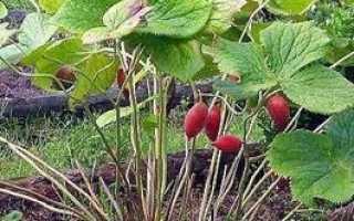 Подофиллум: фото, условия выращивания, правила ухода