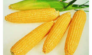 Сушка кукурузы: технология на производстве, как её высушить в домашних условиях и что с ней потом делать