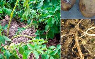 7 методов лечения фузариоза картофеля, описание, фото